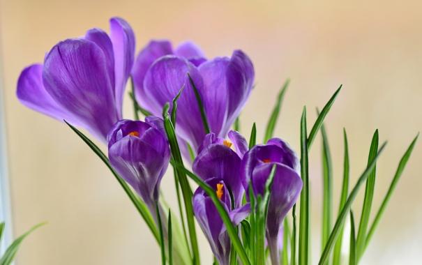 Фото обои цветы, фиолетовые, крокусы, весенние