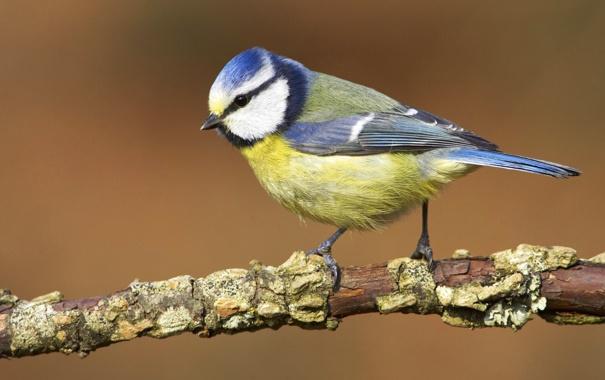 Фото обои природа, птица, обои, ветка, клюв, лазоревка