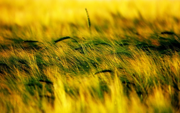 Фото обои трава, природа, колоски, растения. проле