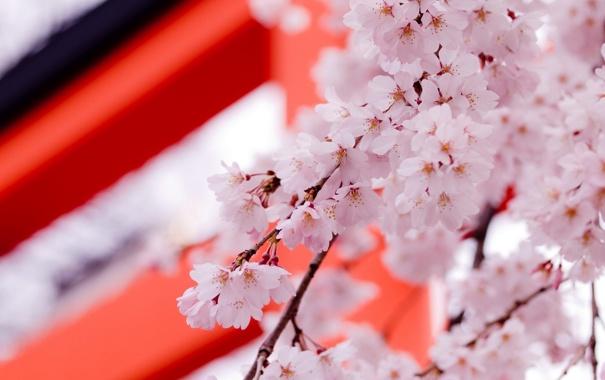 Фото обои весна, цветы, саккура, дерево