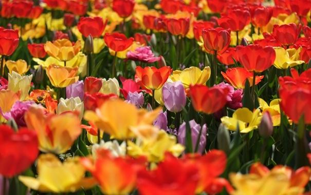 Фото обои тюльпаны, бутоны, разноцветные, много