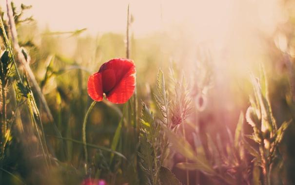 Фото обои поле, трава, природа, мак