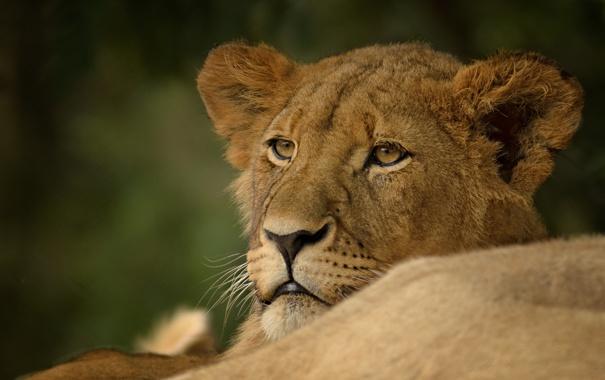 Фото обои портрет, хищник, львица