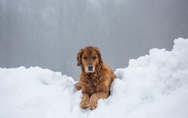 Фото обои зима, снег, друг, взгляд, собака