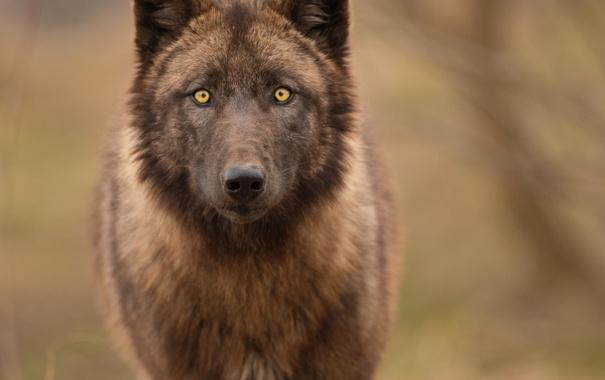 Фото обои взгляд, природа, волк, хищник