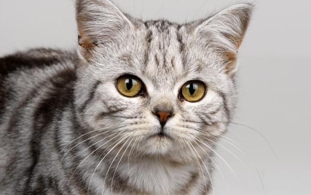 Фото обои котик, британец, вискас