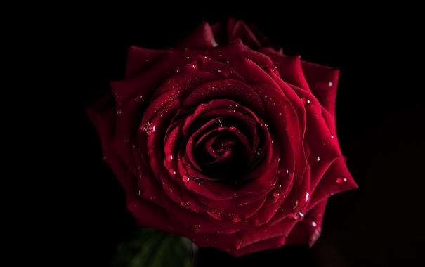 Фото обои капли, лепестки, вода, роза, цветок, бутон, flowers