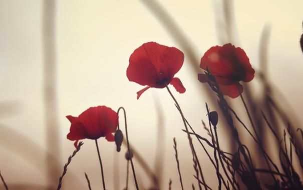 Фото обои цветы, маки, красные