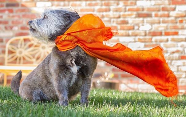 Фото обои лето, собака, шарф
