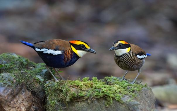 Фото обои птицы, Banded pitta, Hydrornis (guajana), Питты