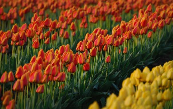 Фото обои поле, лето, цветы, свежесть, красный, жёлтый, поля