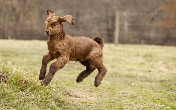 Фото обои прыжок, загон, трава, козленок
