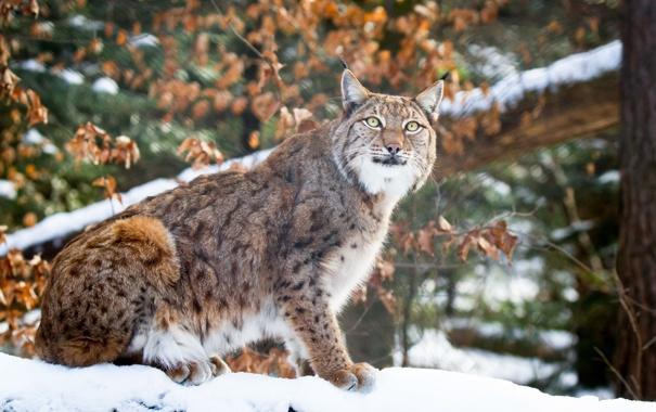 Фото обои зима, морда, снег, хищник, мех, рысь, сидит