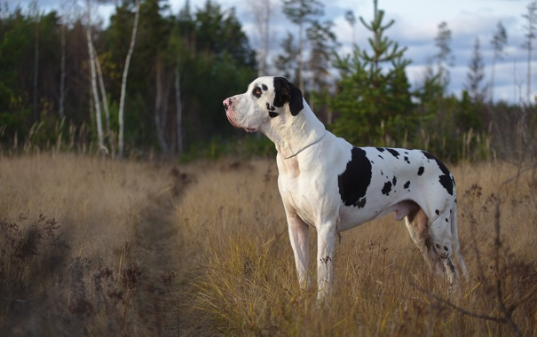 Фото обои друг, собака, мраморный дог