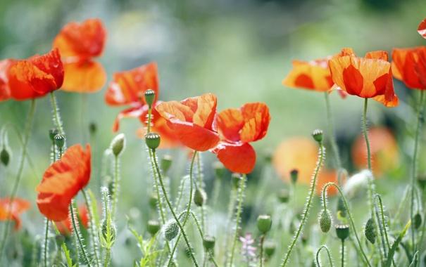 Фото обои трава, красный, зеленый, маки