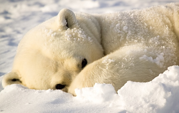 Фото обои зима, белый, снег, лапа, мишка