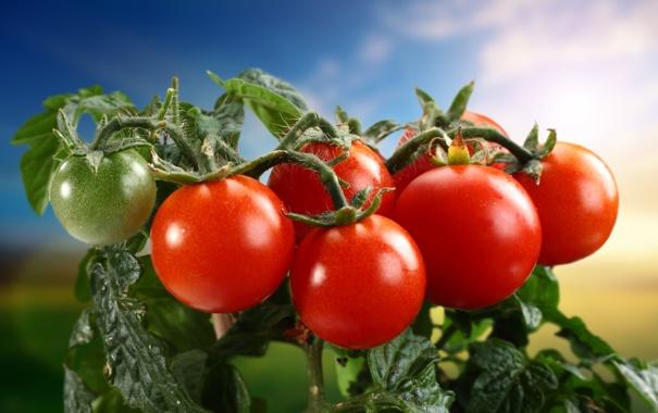 Фото обои овощи, помидоры, томаты