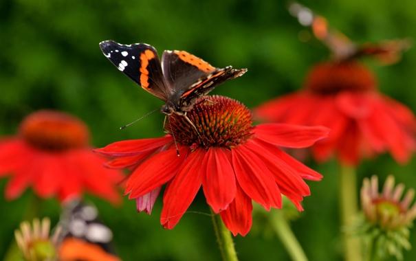 Фото обои цветы, бабочка, крылья, лепестки, насекомое, мотылек, эхинацея