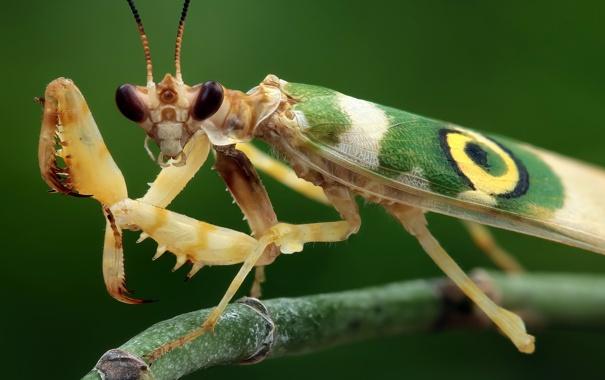 Фото обои взгляд, богомол, насекомое
