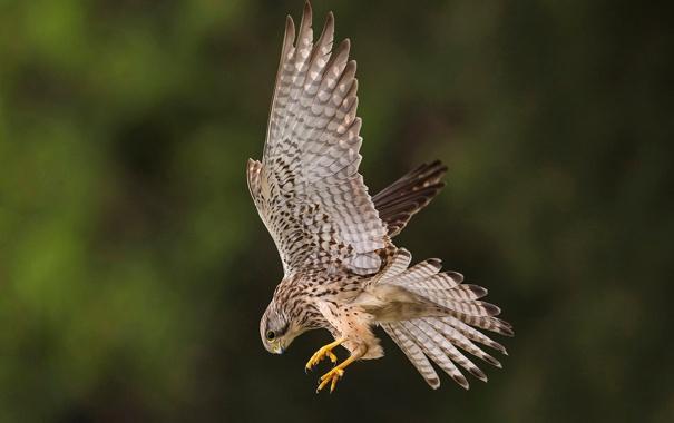 Фото обои птица, крылья, клюв, пустельга