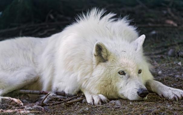 Фото обои белый, взгляд, отдых, волк, полярный, ©Tambako The Jaguar