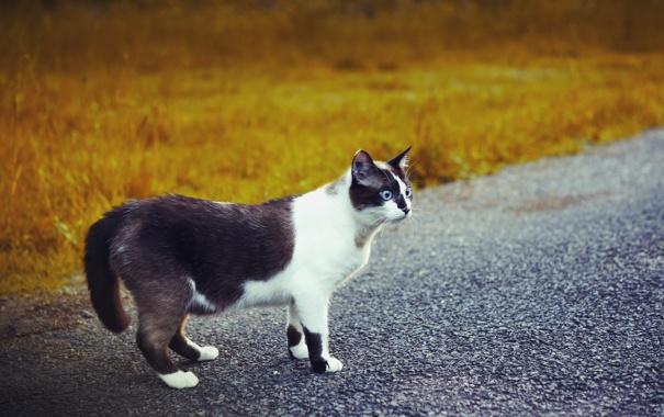 Фото обои дорога, кошка, взгляд, чёрно-белая, голубоглазая