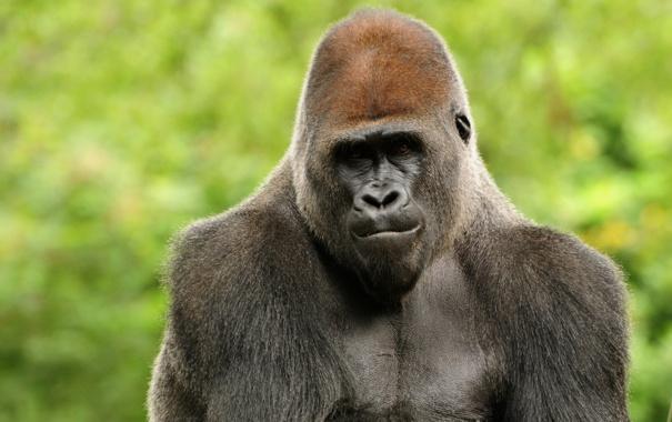 Фото обои обезьяна, горилла, Animal