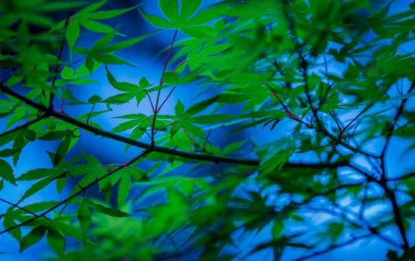 Фото обои листья, ветки, дерево, японский клен