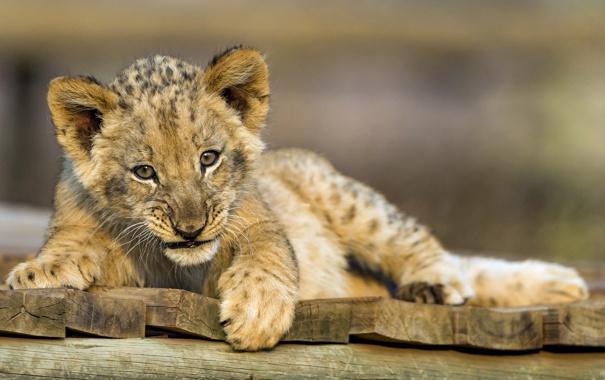 Фото обои кошка, лев, детёныш, львёнок, ©Tambako The Jaguar