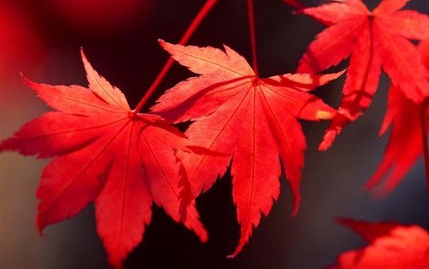 Фото обои осень, листья, клен, багрянец