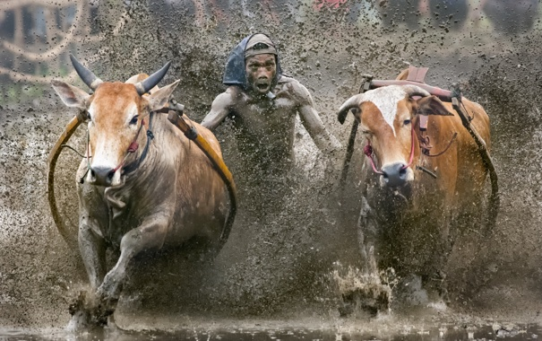 Фото обои sport, Indonesia, cow race