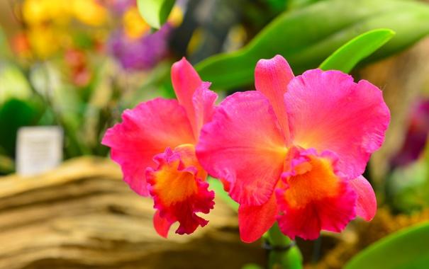 Фото обои природа, растение, орхидея, лепестки, макро