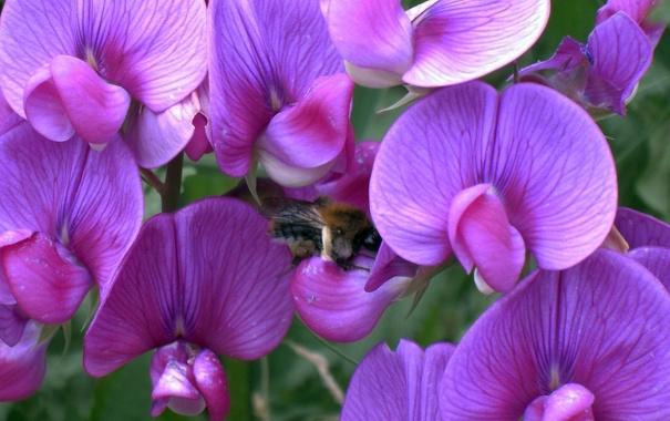 Фото обои цветы, пчела, фон, обои, горошек