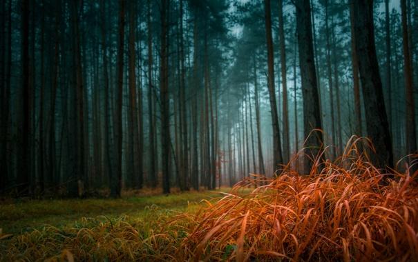 Фото обои лес, трава, туман, сосны