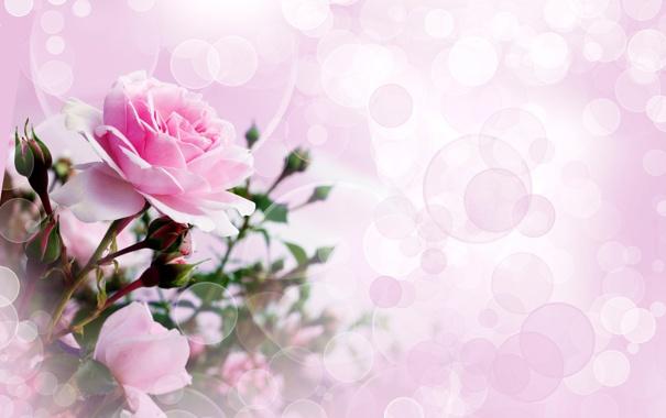 Фото обои бутон, розовый, розы, фото, цветы