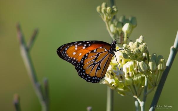 Фото обои цветок, фон, бабочка, крылья, photo by John J Oleary
