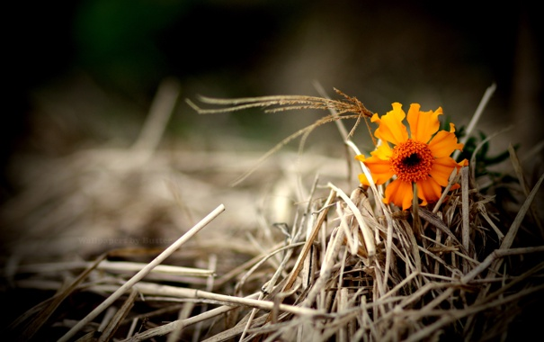 Фото обои трава, оранжевый, сухая, цветочек