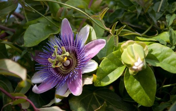 Фото обои зелень, цветок, листья, бутон, пассифлора