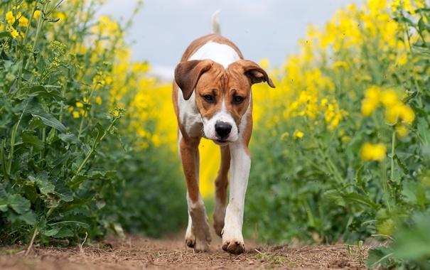 Фото обои поле, лето, собака, рапс