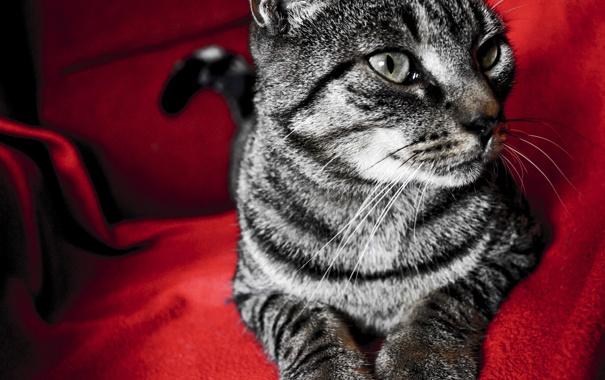 Фото обои кот, красный, красный фон, котэ