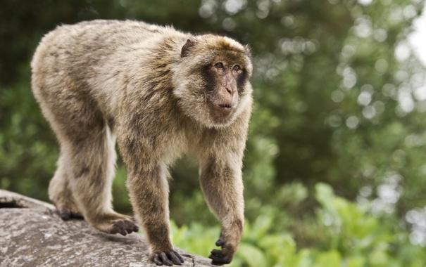 Фото обои животное, размытость, обезьяна