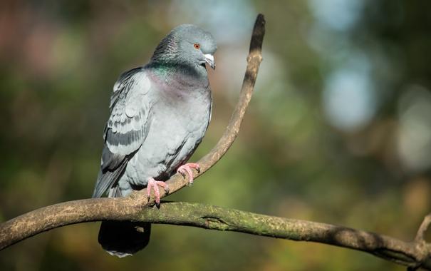 Фото обои птица, ветка, голубь