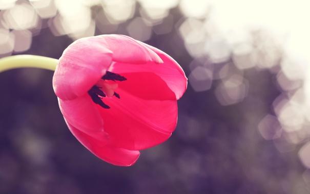 Фото обои цветок, природа, тюльпан, весна, лепестки, бутон