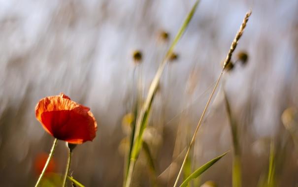 Фото обои травинки, лето, поле, мак, цветок, обои, растения