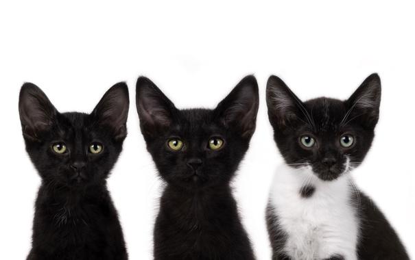 Фото обои усы, черный, коты, котята, смотрят, cats