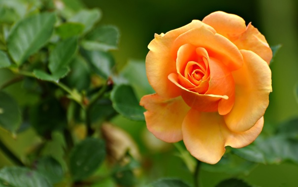 Фото обои листья, цветок, роза, лепестки, макро, бутон