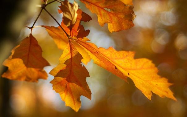 Фото обои осень, листья, макро, ветка, размытость, ярко, жёлтые