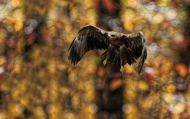 Фото обои природа, птица, Tawny Eagle Landing