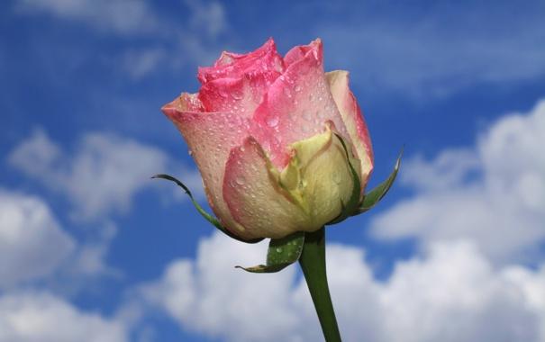 Фото обои небо, вода, облака, капли, роса, роза, лепестки