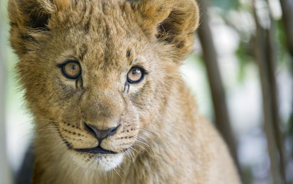 Фото обои взгляд, морда, детёныш, котёнок, львёнок, ©Tambako The Jaguar